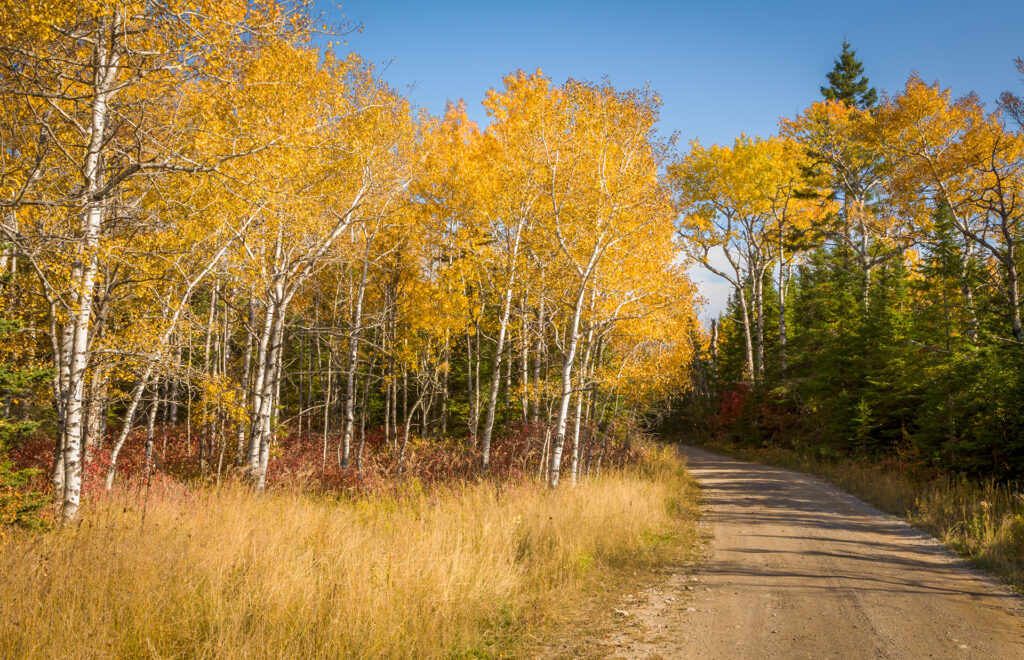 A country backroad and colorful birch trees showing brilliant fall colors in Michigan's Upper Peninsula.