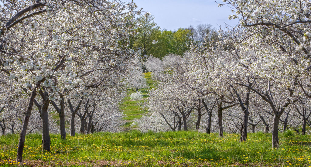 Johnson's Orchard in full spring bloom, Old Mission Peninsula