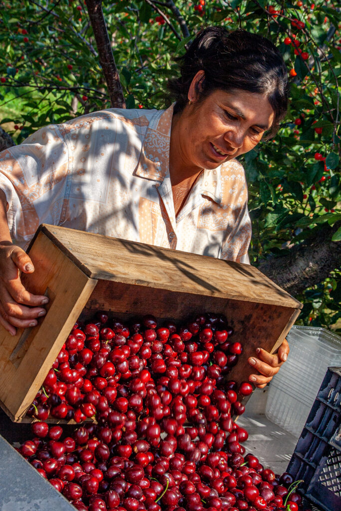 A woman harvesting cherries on an Old Mission Peninsula farm.