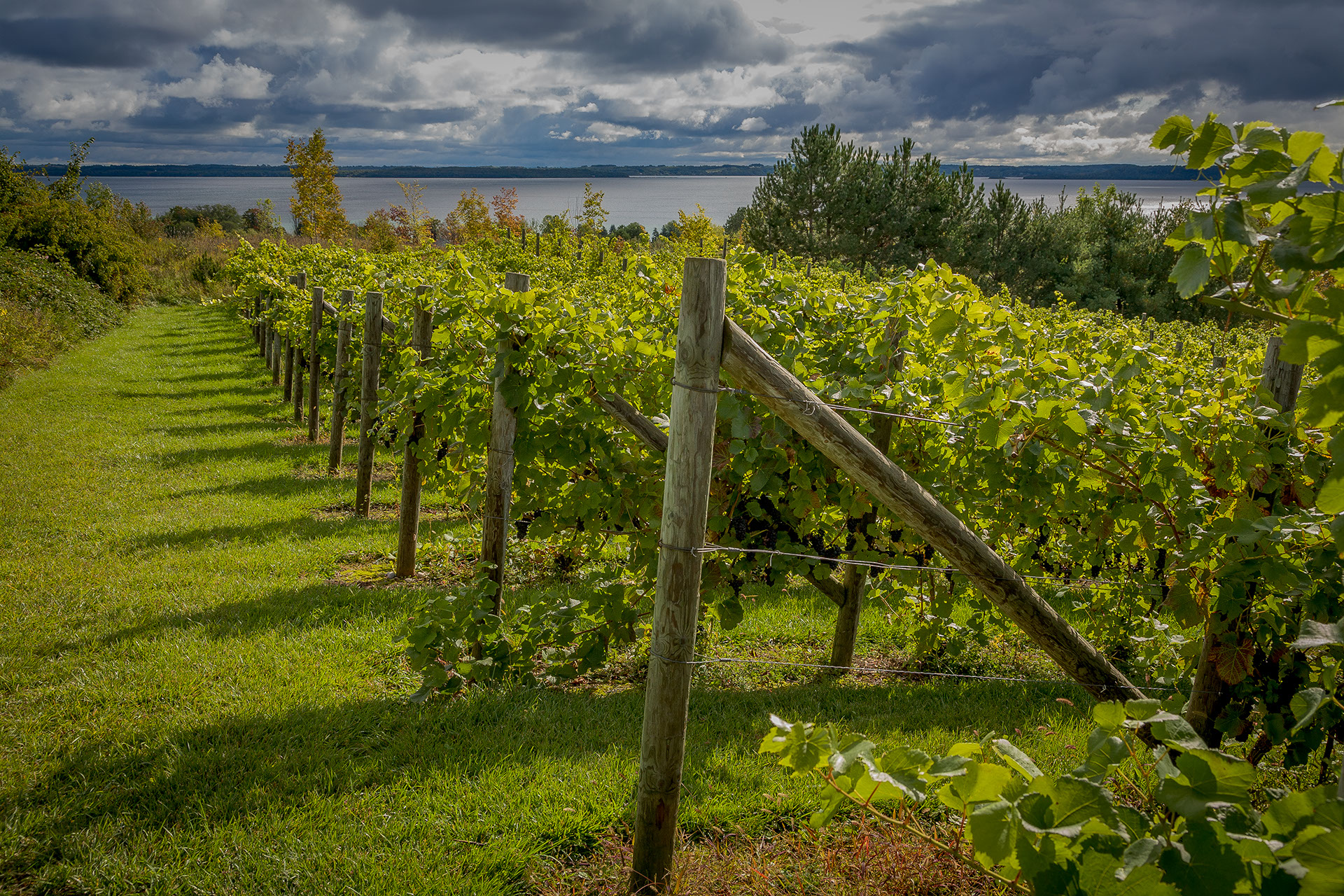 A Leelanau County vineyard with the Grand Traverse West Bay in the distance.