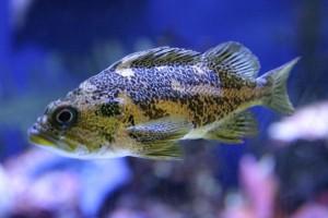 aquaponic fish farming