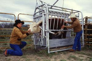 640px-Cattle_inspected_for_ticks