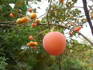persimmon-fruit-187783_1920