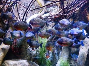 piranhas-452863_1280