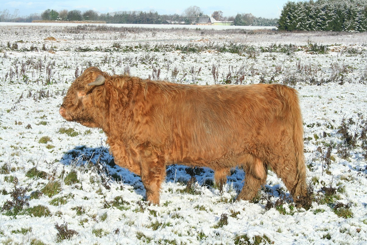 winter stressed cow