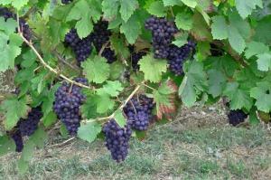 grapes-453811_1280