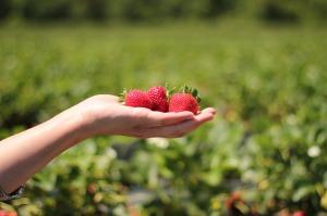 strawberries-484272_1280