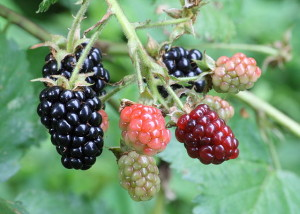 """Ripe, ripening, and green blackberries"" by Ragesoss - Own work. Licensed under CC BY-SA 3.0 via Wikimedia Commons."