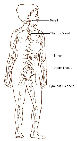"""""""Illu lymphatic system"""". Licensed under Public Domain via Wikimedia Commons."""