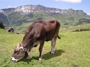 cow-706689_1280