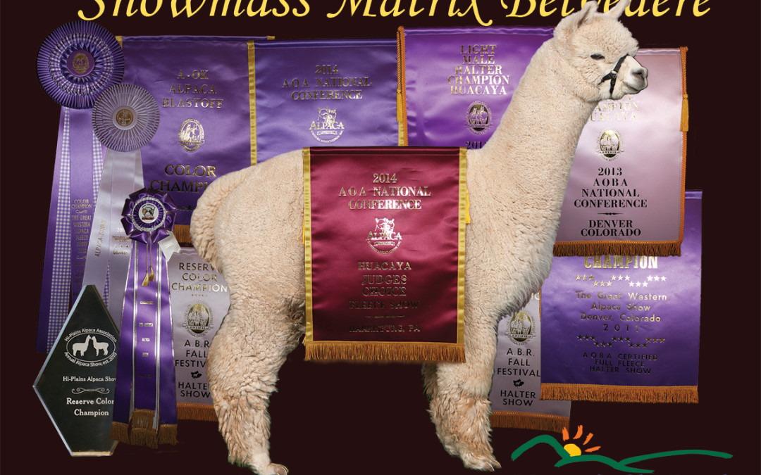 Our Dreams, Nightmares and Future with Alpacas!