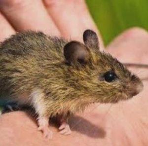 endangered-mouse