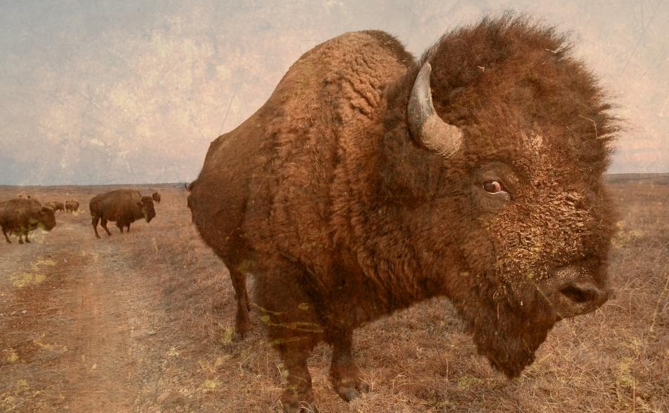 bison2