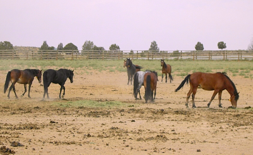 horsesinpaddock
