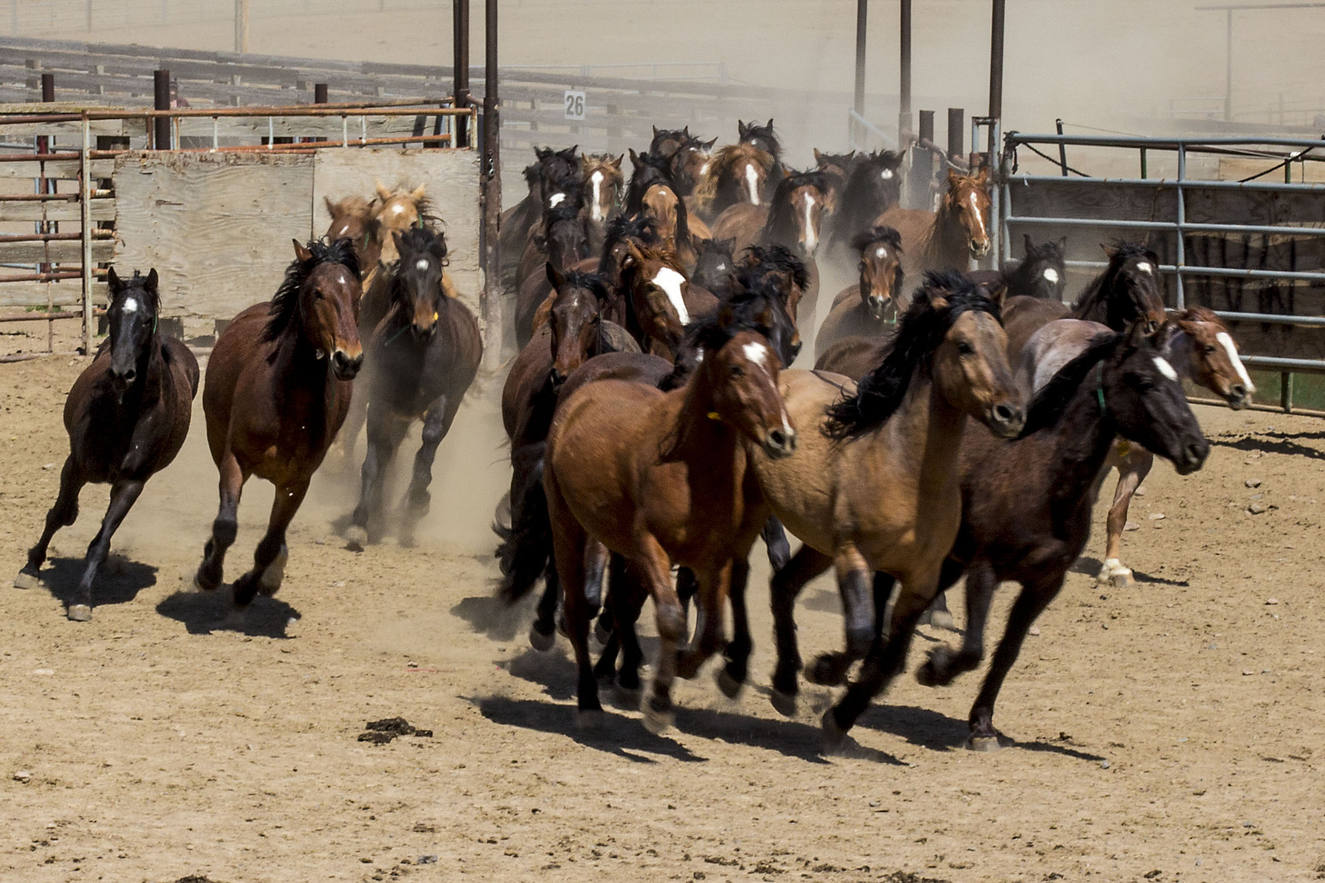 Image result for wild horses in corrals