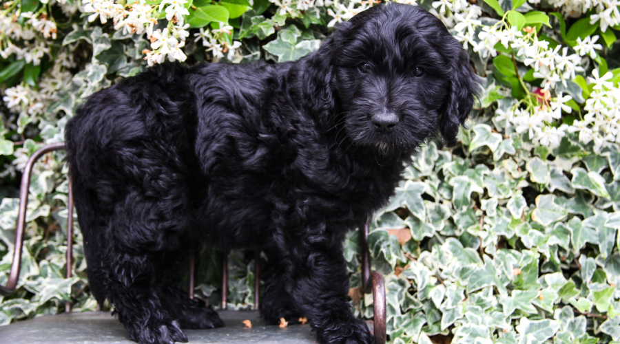 Are Goldendoodles Better in Pairs?