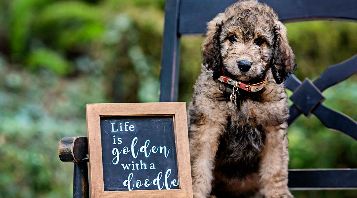 How owning a Goldendoodle can make your life so much better