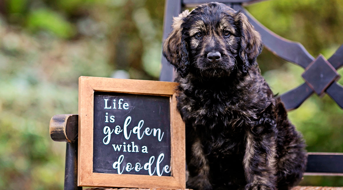 Socializing Your Goldendoodle Puppy during COVID-19