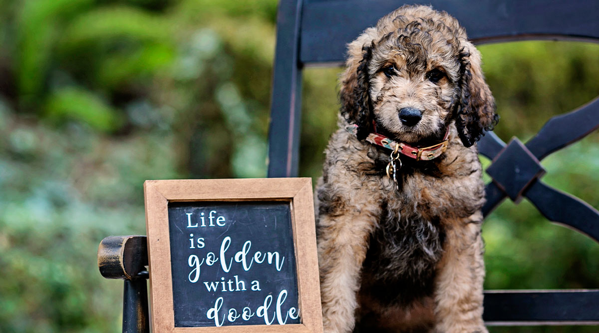 Goldendoodle Review: 7 Pawesome Facts You Might Not Know About Goldendoodles