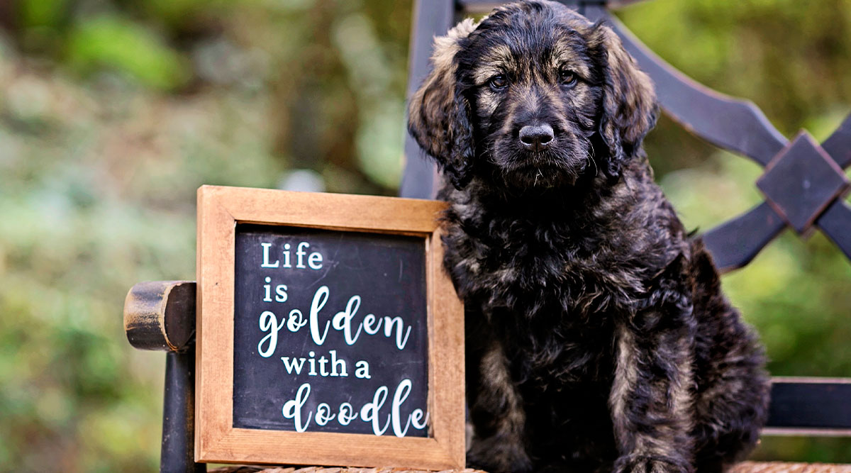 Choosing the Right Goldendoodle Breeders: What to Look For