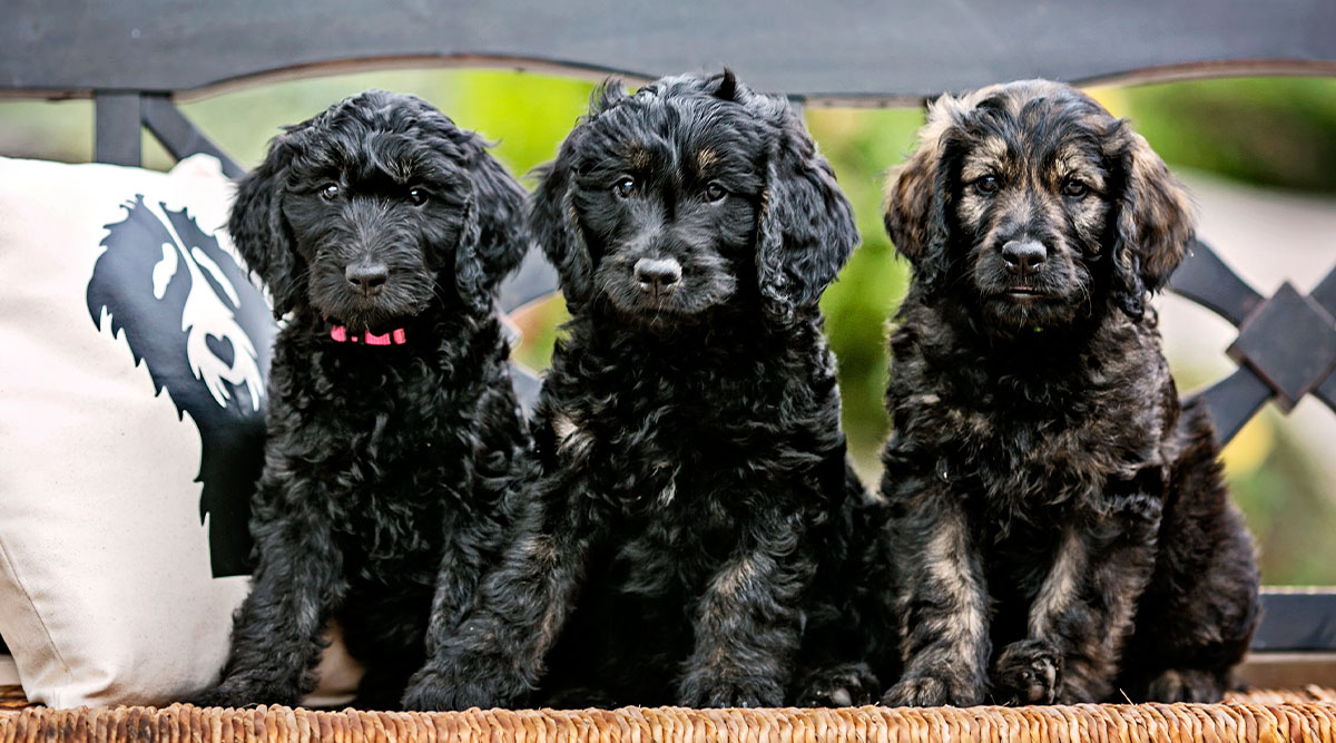 10 Tips for Goldendoodle Puppy Care