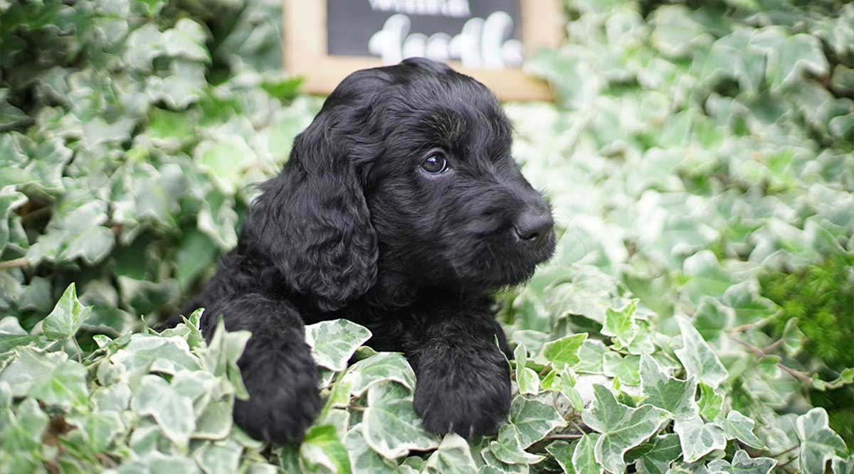 7 Tips for Goldendoodle Owners with Allergies