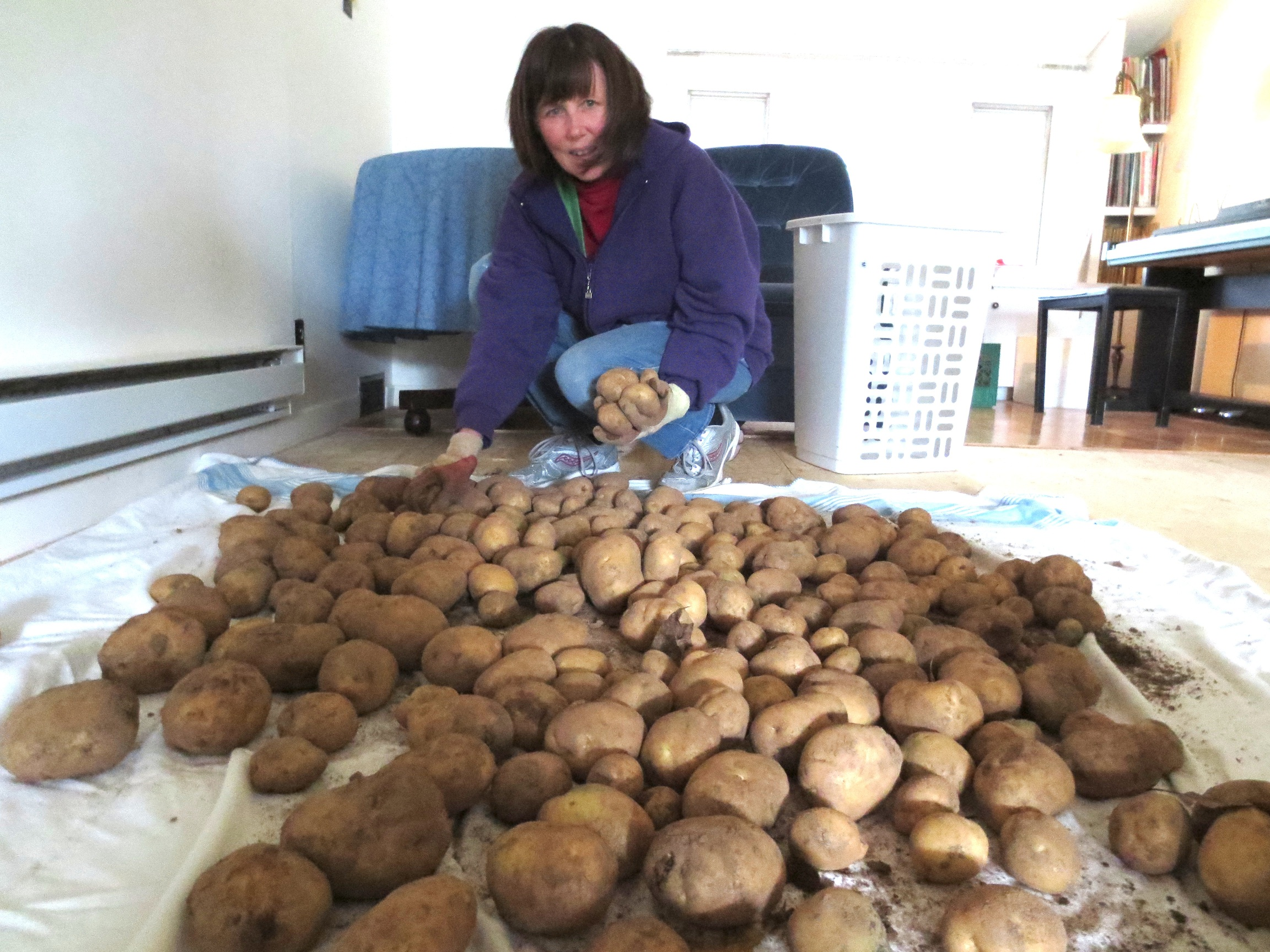 Kathleen lays out potatoes, freshly dug from the ground, on our living room floor for drying.