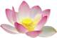 pink lotus flower mini 80x54