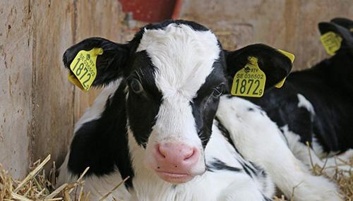 Calf Winter Management