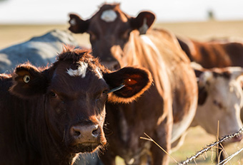 Keeping Livestock Healthy in the Heat