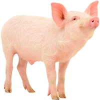 swine insect management