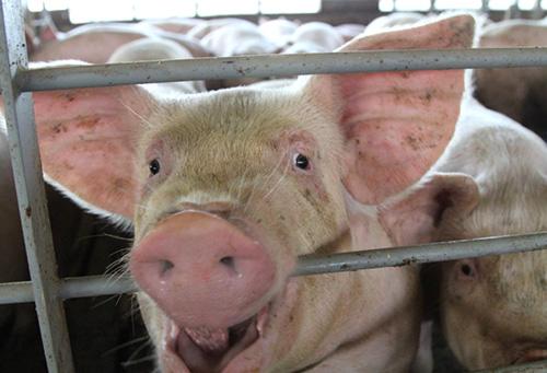 swine viruses