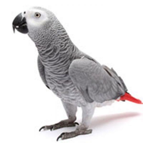 CongoAfrican Grey