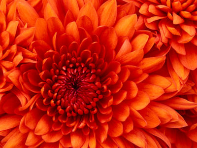 Closeup shot of a red Chrysanthemum