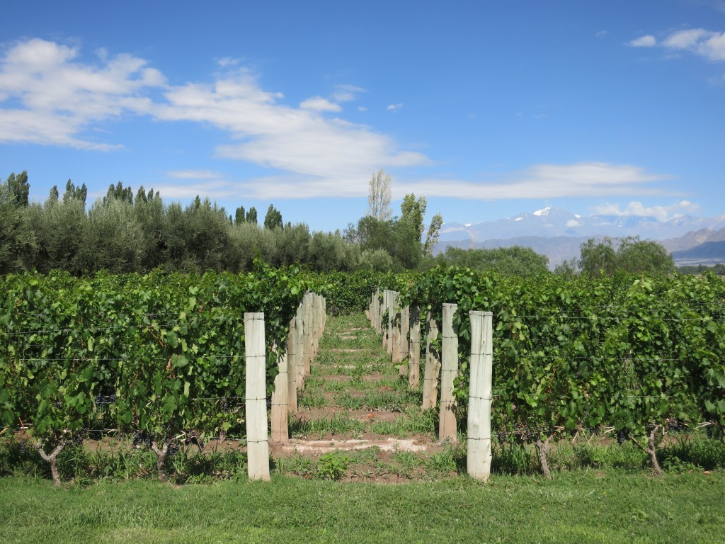 Malbec Vineyards at Achaval Ferrer