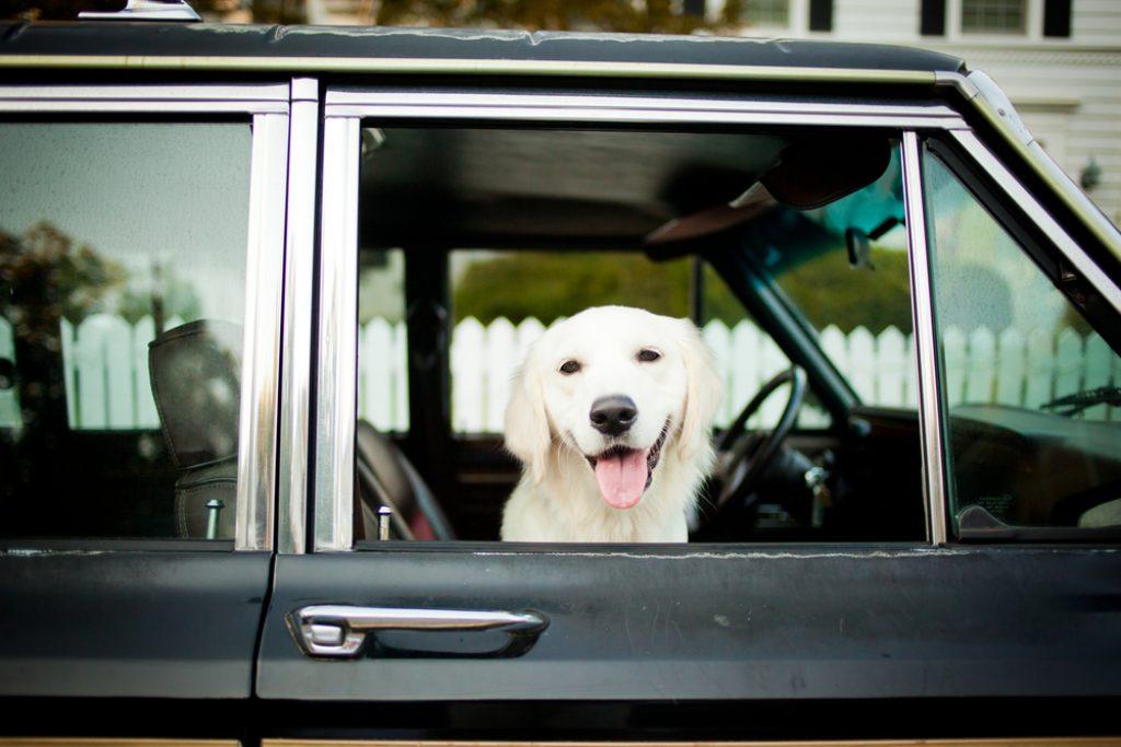 dog without Wireless Dog Fence