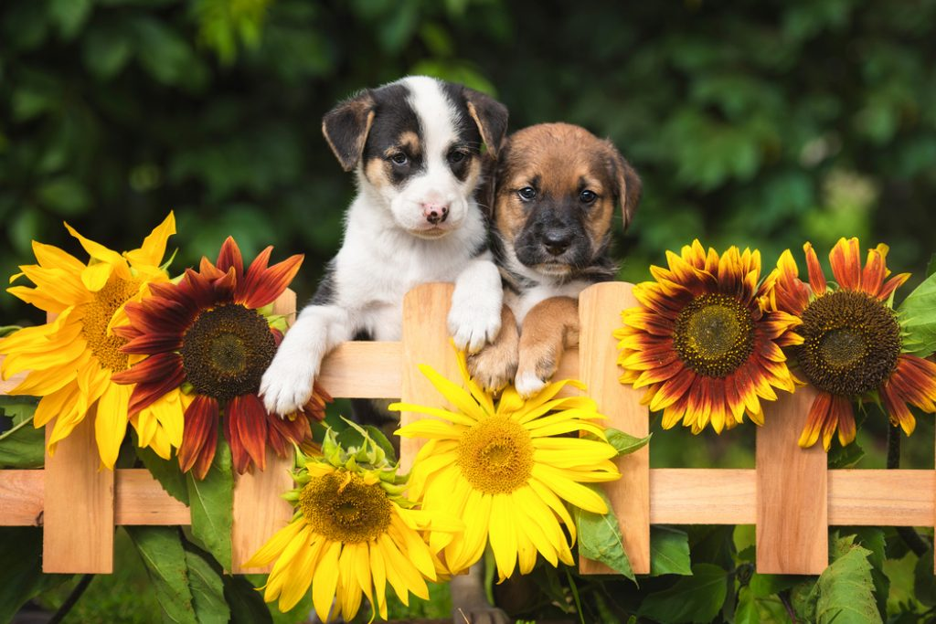 Two adorable puppies looking over the garden fence