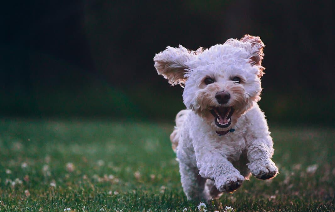 White fluffy dog running on grass