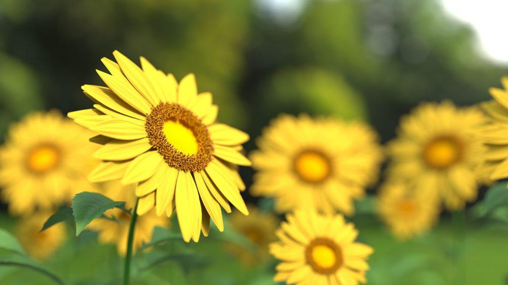 sunflower-1421011_1920