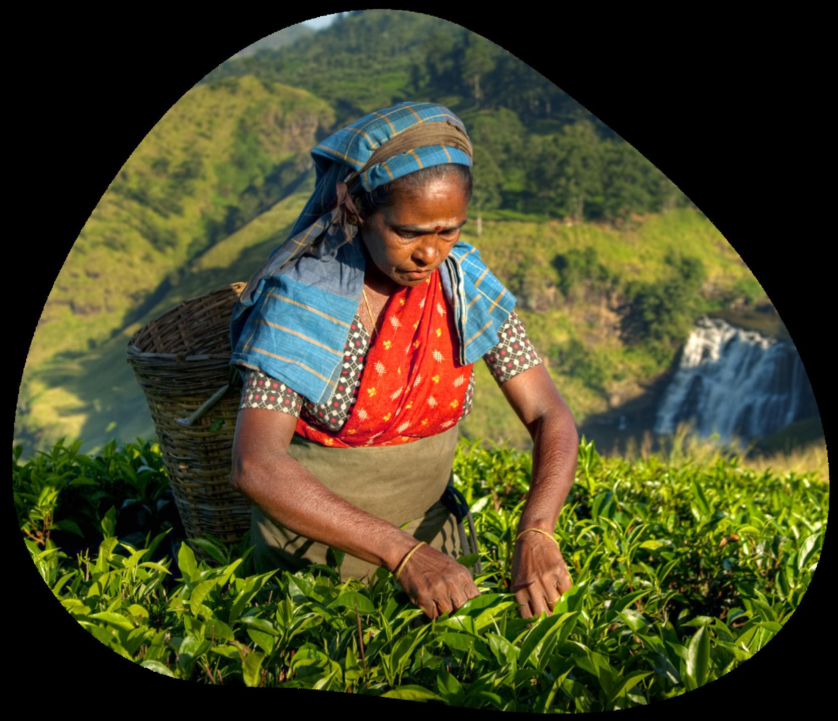 Woman farmer picking leaves