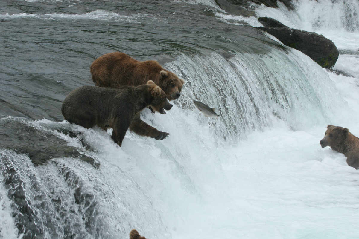 Bears catching fishes in the water