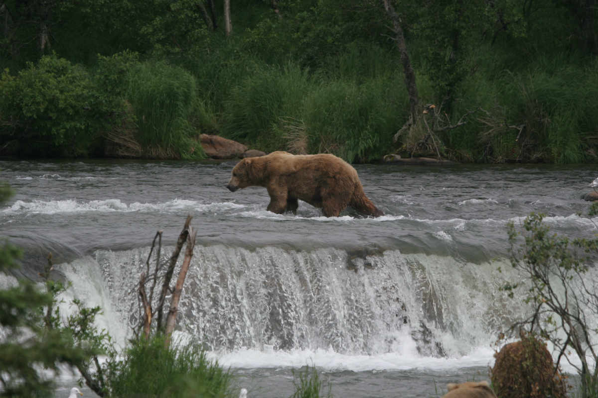 A bear in the river