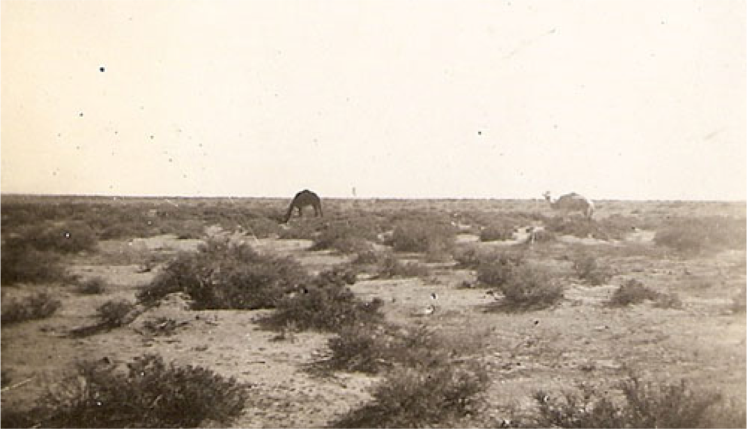 """Photo taken by Sgt. Robert Otterson in N. African desert, 1942, entitled """"Camels"""""""