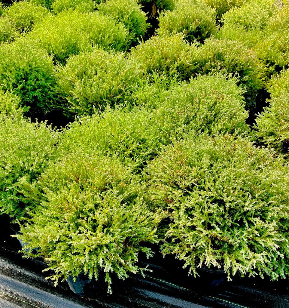 yellowshrub