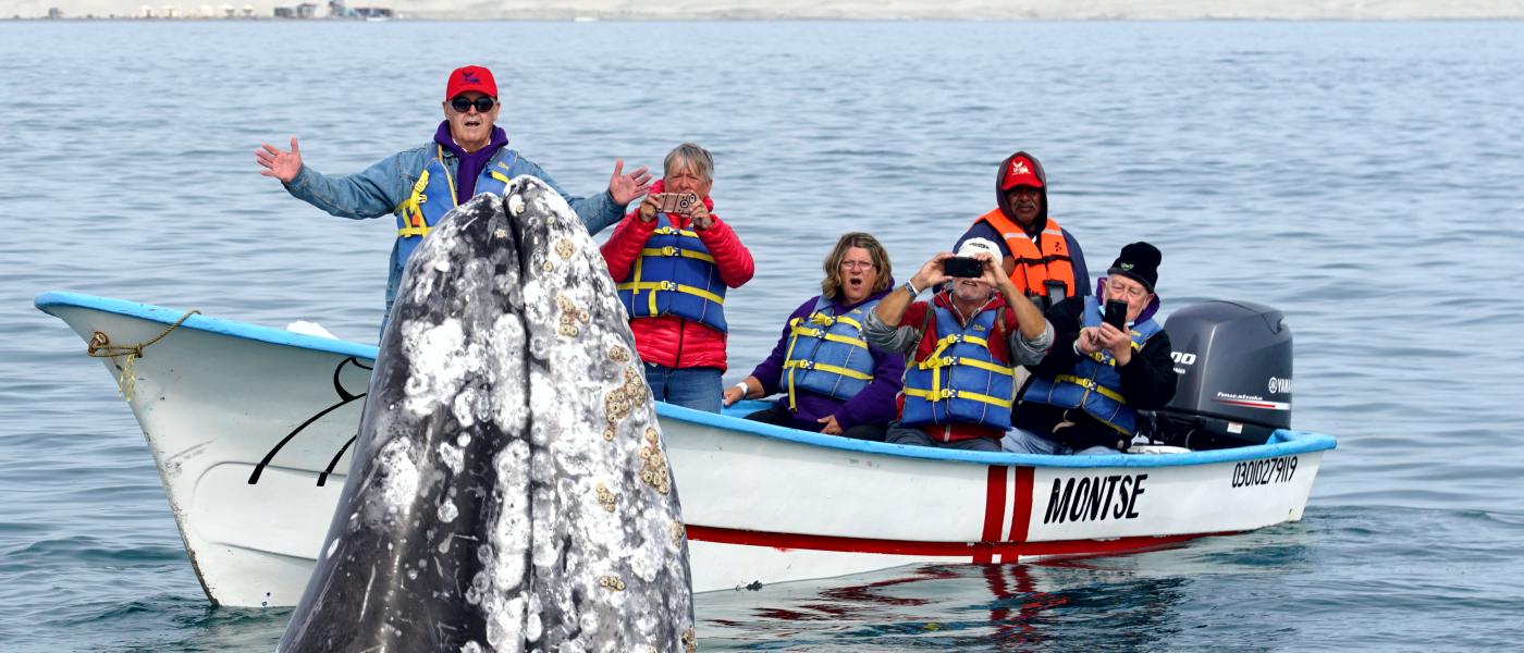 Mystic Whale Watching Tours 3 image of group's closer view of a Gray Whale.
