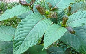 kratom plan, in green leafy raw form
