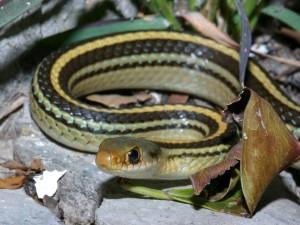patchnose snake