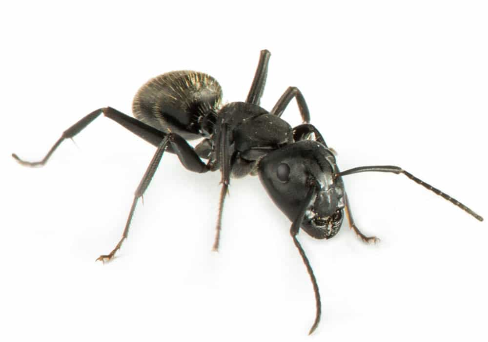 Small Ants & Sugar Ants Pest Control in Portland OR and Vancouver WA