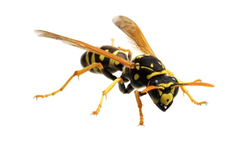 Wasp Removal Vancouver Camas Washington