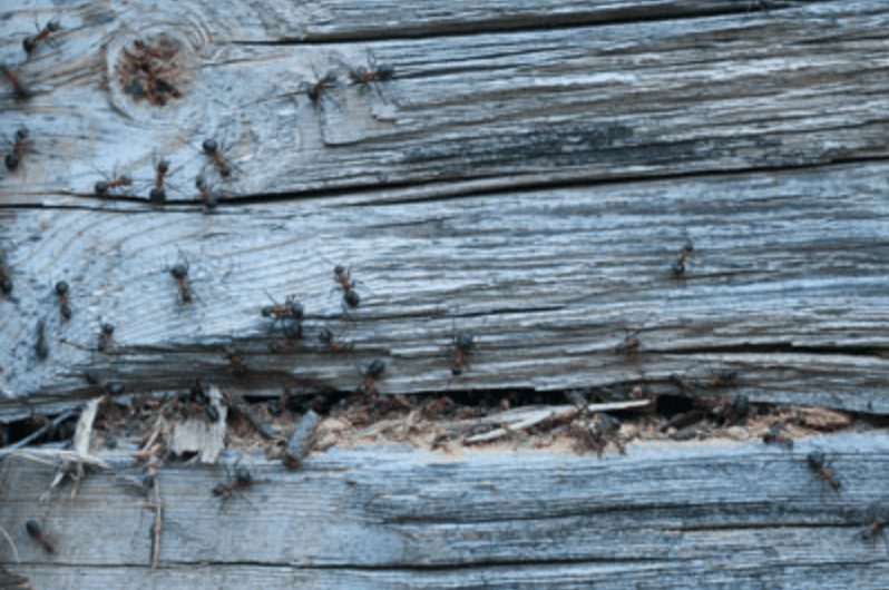 Carpenter Ant Control in Vancouver WA